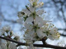 Les fleurs de prune de cerise gardering au printemps Photographie stock