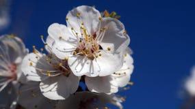 Fleurs blanches de ressort Image libre de droits