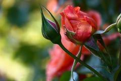 Les fleurs de rose Photos libres de droits