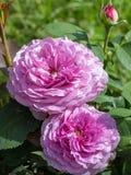 Les fleurs de Rose se ferment dans le jour ensoleillé d'été Photo libre de droits