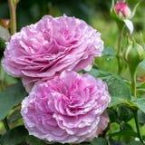 Les fleurs de Rose se ferment dans le jour ensoleillé d'été Photo stock