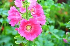 Les fleurs de roses trémière dans le jardin avec le fond trouble images stock
