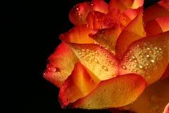 Les fleurs de se sont levées à la pluie Photo libre de droits
