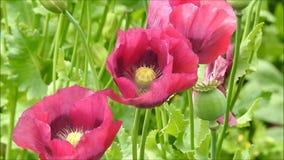 Les fleurs de soufflement venteuses fraîches de vent doux de brise engazonnent le champ de pavots balançant doucement banque de vidéos