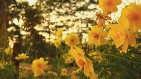 Les fleurs de Sulphureus de cosmos mettent en place ?troit avec des fus?es du soleil clips vidéos