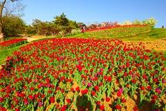 Les fleurs de tulipe Photos stock