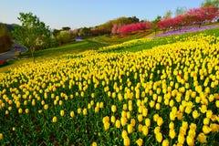 Les fleurs de tulipe de jaune Images stock