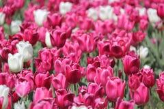 Les fleurs de tulipe les plus gentilles du monde Photo stock