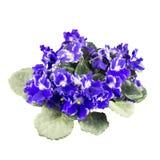 Les fleurs de violettes en bois se ferment vers le haut Photo libre de droits