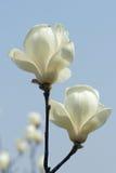 Fleur blanche de Yulan Photo libre de droits