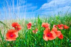Les fleurs des pavots rouges dans l'herbe verte sur le pré Bleu photos libres de droits