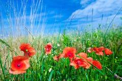 Les fleurs des pavots rouges dans l'herbe verte sur le pré Bleu images libres de droits