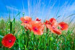 Les fleurs des pavots rouges dans l'herbe verte sur le pré Bleu photo stock