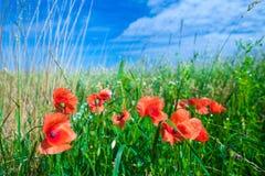 Les fleurs des pavots rouges dans l'herbe verte sur le pré Bleu image stock