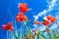 Les fleurs des pavots rouges dans l'herbe verte sur le pré Bleu photo libre de droits