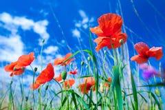 Les fleurs des pavots rouges dans l'herbe verte sur le pré Bleu photographie stock libre de droits
