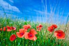 Les fleurs des pavots rouges dans l'herbe verte sur le pré Bleu image libre de droits