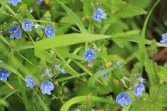 Les fleurs des pensées de champ dans l'herbe Photos stock