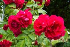 Les fleurs des roses rouges avec de l'eau se laisse tomber aux pétales et aux feuilles dans le jardin après la pluie Photographie stock libre de droits