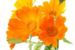 Les fleurs du calendula Images libres de droits