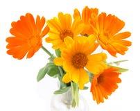 Les fleurs du calendula Image libre de droits
