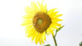 Les fleurs du soleil Photo stock