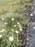 Les fleurs du soleil Images stock