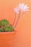 Les fleurs du Succulent Image stock