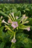 Les fleurs du tabac à la centrale de jardin de la Thaïlande Image stock