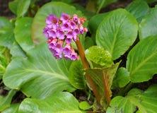 Les fleurs en forme de c?ne de crassifolia lumineux et voyant de Bergenia se ferment avec les feuilles vertes sur le fond photographie stock