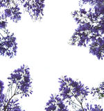 les fleurs encadrent la violette Photo libre de droits
