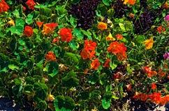 Les fleurs et les feuilles oranges de vert avec le buisson pourpre aiment l'usine image stock