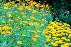 Les fleurs et le souci jaunes de cosmos fleurissent dans le plein domaine Images stock