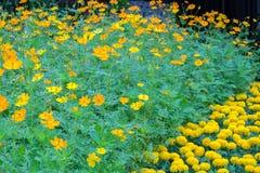 Les fleurs et le souci jaunes de cosmos fleurissent dans le plein domaine Photos stock