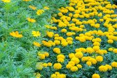 Les fleurs et le souci jaunes de cosmos fleurissent dans le plein domaine Photo libre de droits