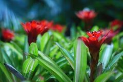 Les fleurs exotiques rouges lumineuses ont fleuri dans le jardin tropical photo stock