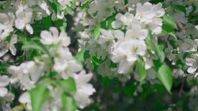 Les fleurs jaillissent panorama sans couture de boucle infinie Beau fond idéal d'écologie de fleuriste de fleurs de pomme de fleu banque de vidéos