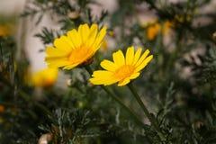 Chrysanthème sauvage jaune photos stock