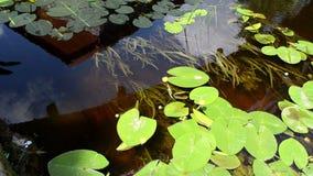 Les fleurs jaunes de feuilles de lis de flore de l'eau élèvent l'écoulement de courant de rivière banque de vidéos