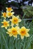 Les fleurs jaunes de fleur de la jonquille ou des narcisses de trompette avec la tasse de couronne de rouge orange dans un jardin Images libres de droits