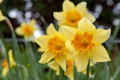 Les fleurs jaunes de fleur de la jonquille ou des narcisses de trompette avec la tasse de couronne de rouge orange dans un jardin Image stock