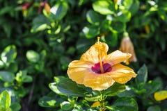 Les fleurs jaunes de ketmie fleurissent Photo stock