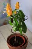 Les fleurs jaunes de la crevette d'or plantent Pachystachys Lutea - belle usine à la maison dans un pot Images stock