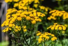 Les fleurs jaunes de tansy avec les feuilles vertes en parc en été photographie stock