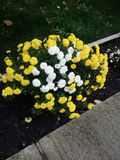 Les fleurs jaunes et blanches Photos libres de droits