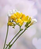 Les fleurs jaunes et blanches de freesias, se ferment, fond clair de coeurs Image stock
