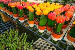 Les fleurs jaunes et rouges de cactus dans des pots au cactus font des emplettes sur le marché de fleurs Photos libres de droits