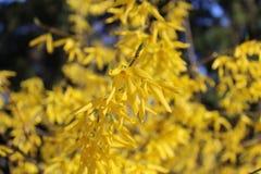 Les fleurs jaunes jaillissent jour ensoleillé photo libre de droits