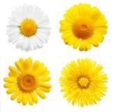 Les fleurs jaunes ont isolé Photo libre de droits