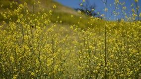 Les fleurs jaunes paisibles de moutarde avec des papillons ont peint Madame dans une brise fraîche douce banque de vidéos